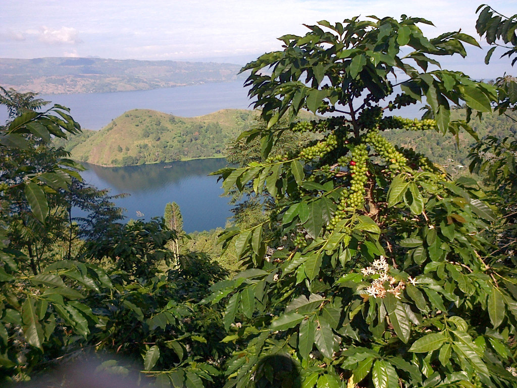 toba lake and coffee tree cover photo option
