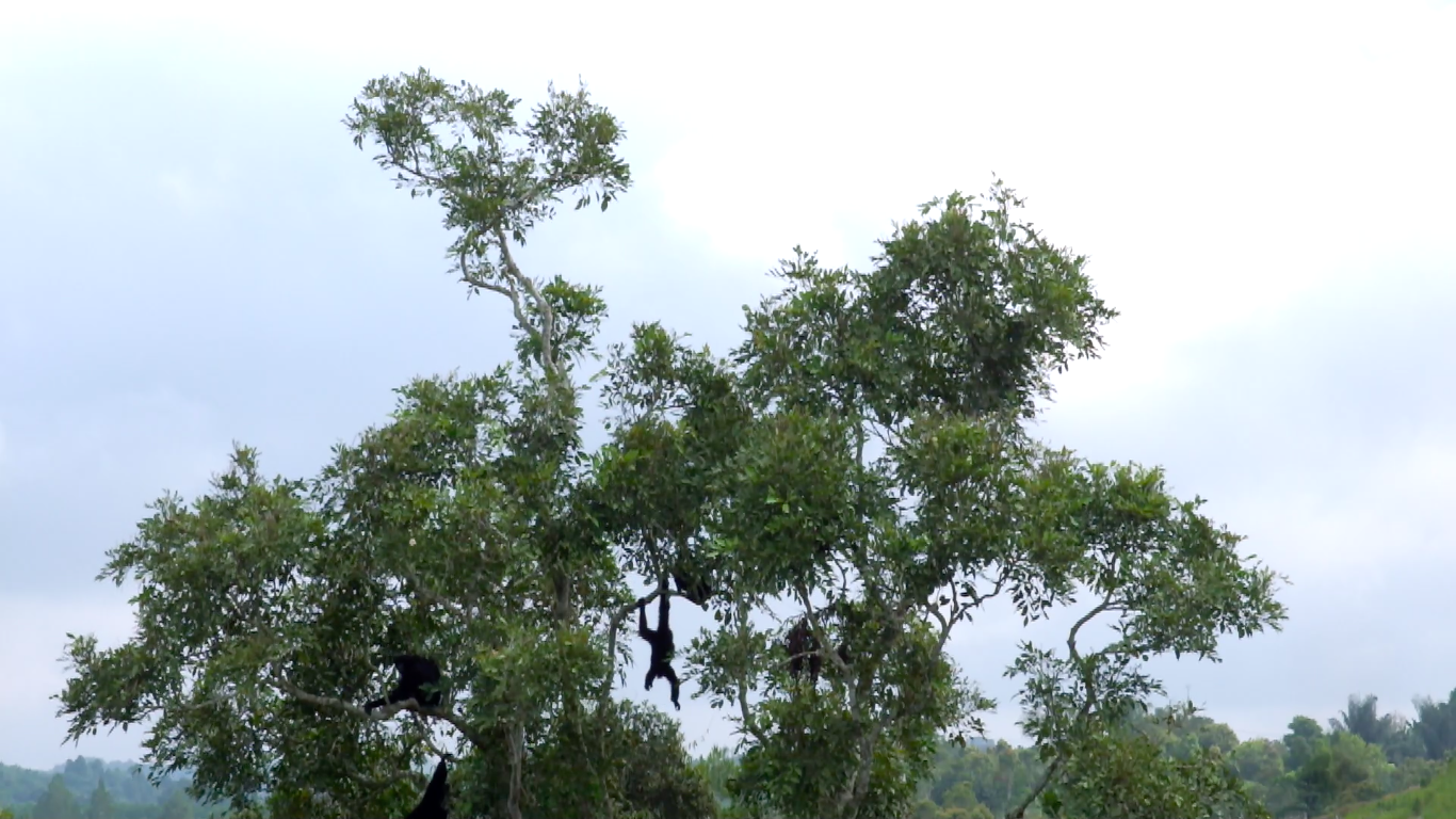 Siamang Forest